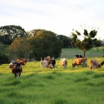 Maleny cheese butter other products - Dairy Farm