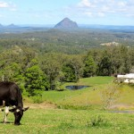 Maleny Cheese - Dairy Farm