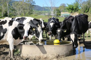 Maleny Cheese - Dairy Cows